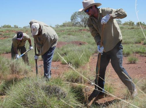 three Aboriginal men harvesting spinifex grass on outskirts of Camooweal, Qld